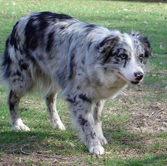 Dog blog rasy ps 243 w owczarek australijski